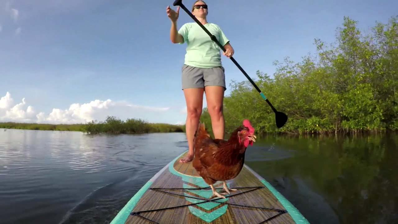 Loretta, a Rhode Island Red, is seen on a paddle board with its owner Karly Venezia in Florida.