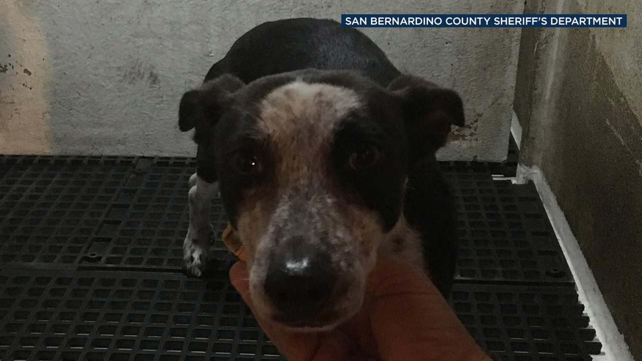 An abused dog is seen in a photo posted by the San Bernardino County Sheriffs Department.