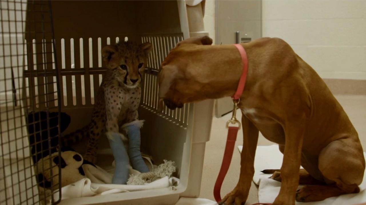 Ruuxa, a male cheetah cub at the San Diego Zoo Safari Park, underwent surgery on Wednesday, Sept. 3, and his pal Raina, a Rhodesian ridgeback puppy, was by his side the entire time.