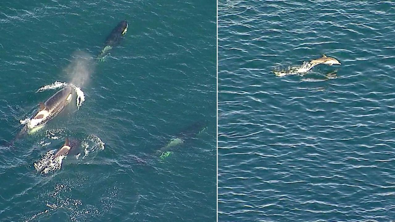 A pod of orcas swim through the waves off the Palos Verdes coast and a dolphin swimming with its own pod jumps through the air not far from the orcas.