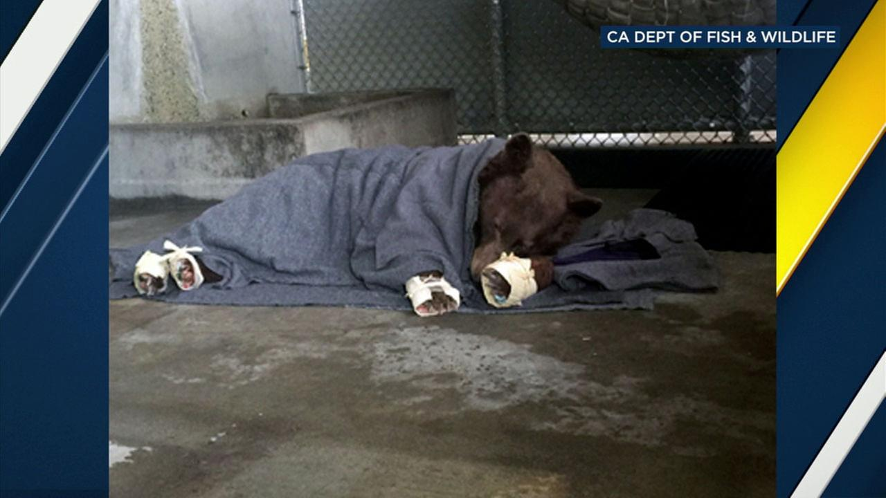 State veterinarians treated two adult female bears that were burned in the Thomas Fire.
