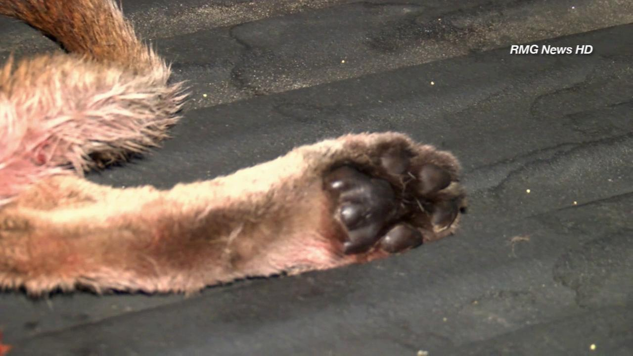 A mountain lion was struck and killed by a car on the 2 Freeway in Glendale on Monday, Sept. 9, 2014.