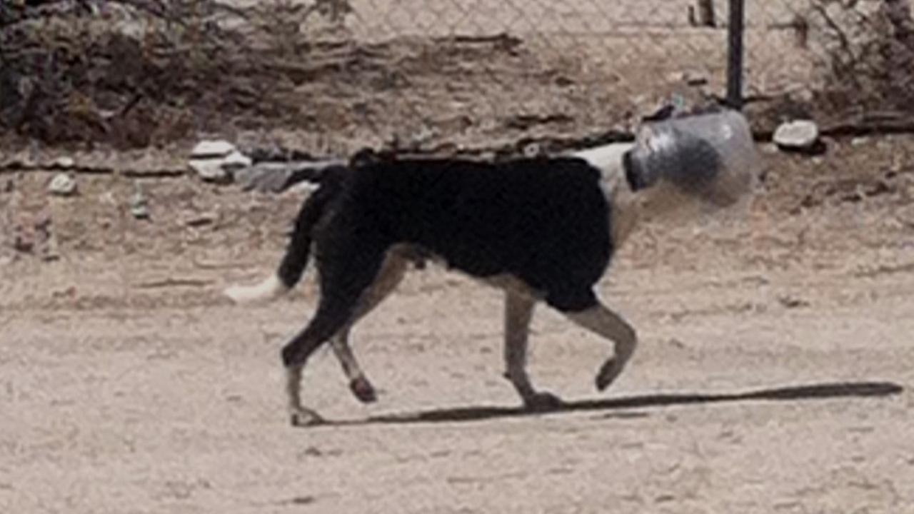A stray dog in the Sky Valley area got its head stuck in a plastic jar on Thursday, Sept. 18, 2014.