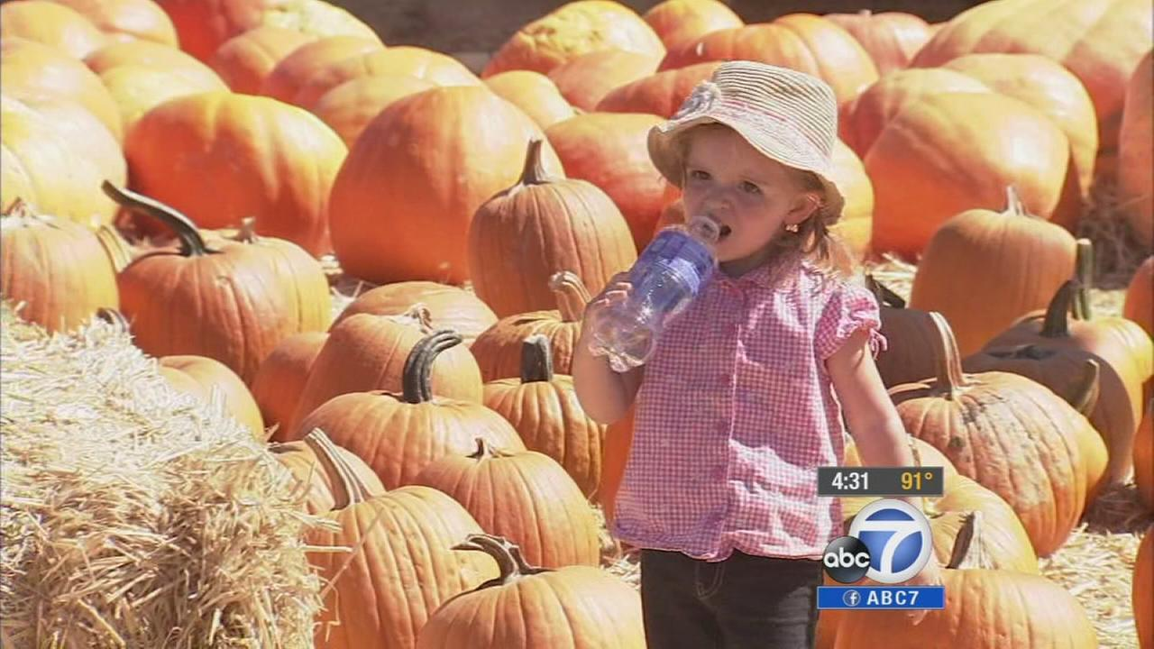 The fall heat wave is taking a toll on Southern Californias pumpkin crop just before Halloween.