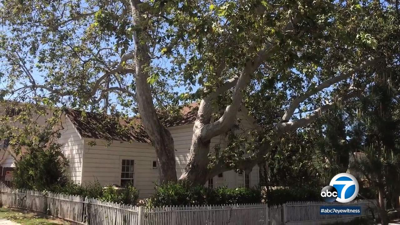 Two sycamore trees on California Avenue in Santa Monica have been granted landmark status.