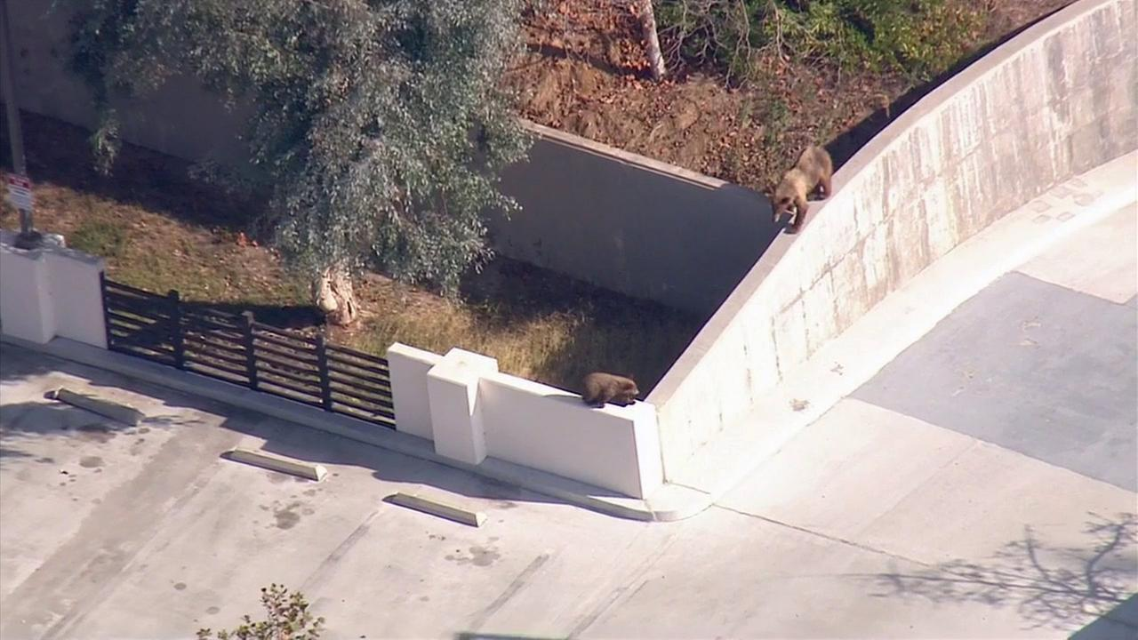 A mama bear and a cub were spotted in Pasadena in the 600 block of N. Rosemead Boulevard on Thursday, Oct. 16, 2014.