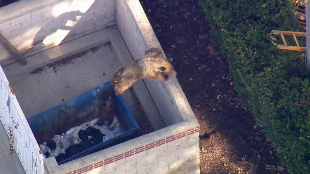 A mama bear tries to help her cub after it got stuck in a dumpster in Pasadena on Thursday, Oct. 16, 2014.