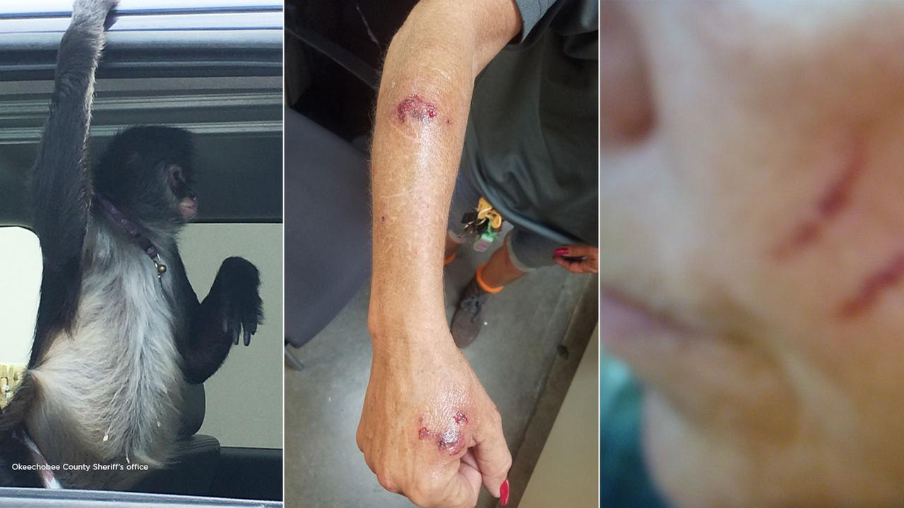 A domesticated spider monkey who bit and scratched a Florida Home Depot employee.