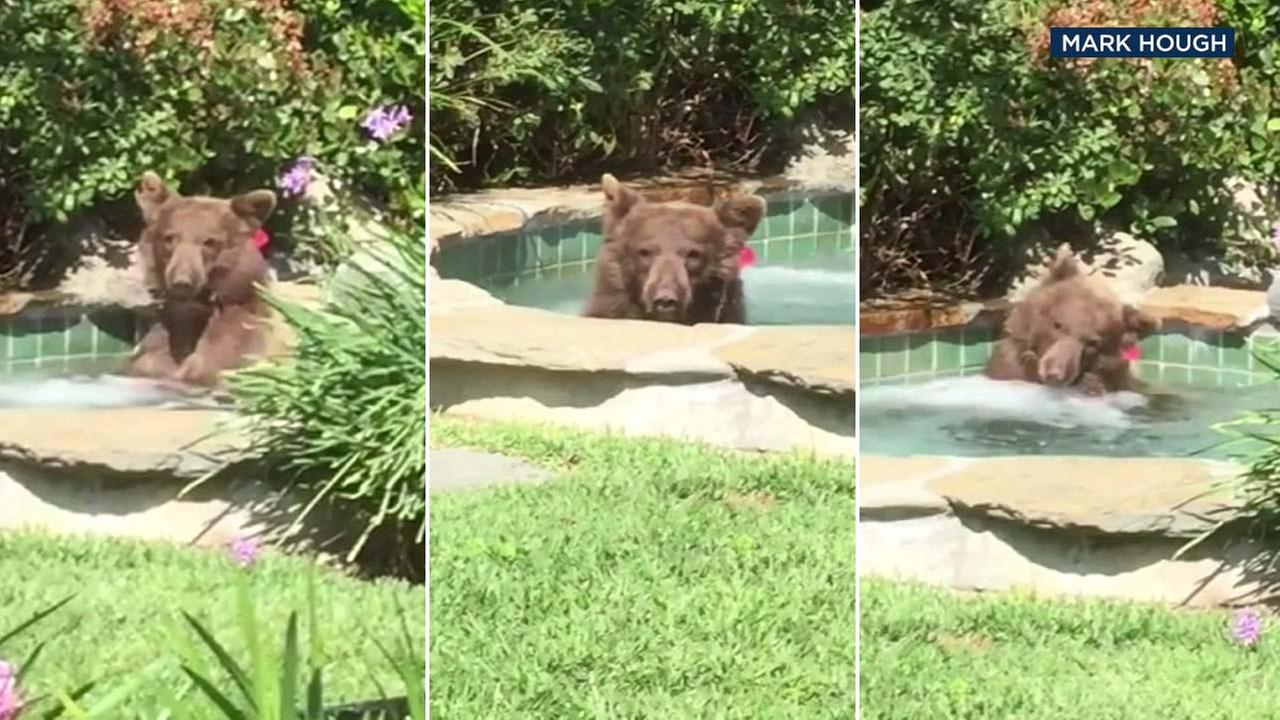 Video shows a bear in Altadena beating the heat the best way it can, by taking a relaxing dip in a hot tub.