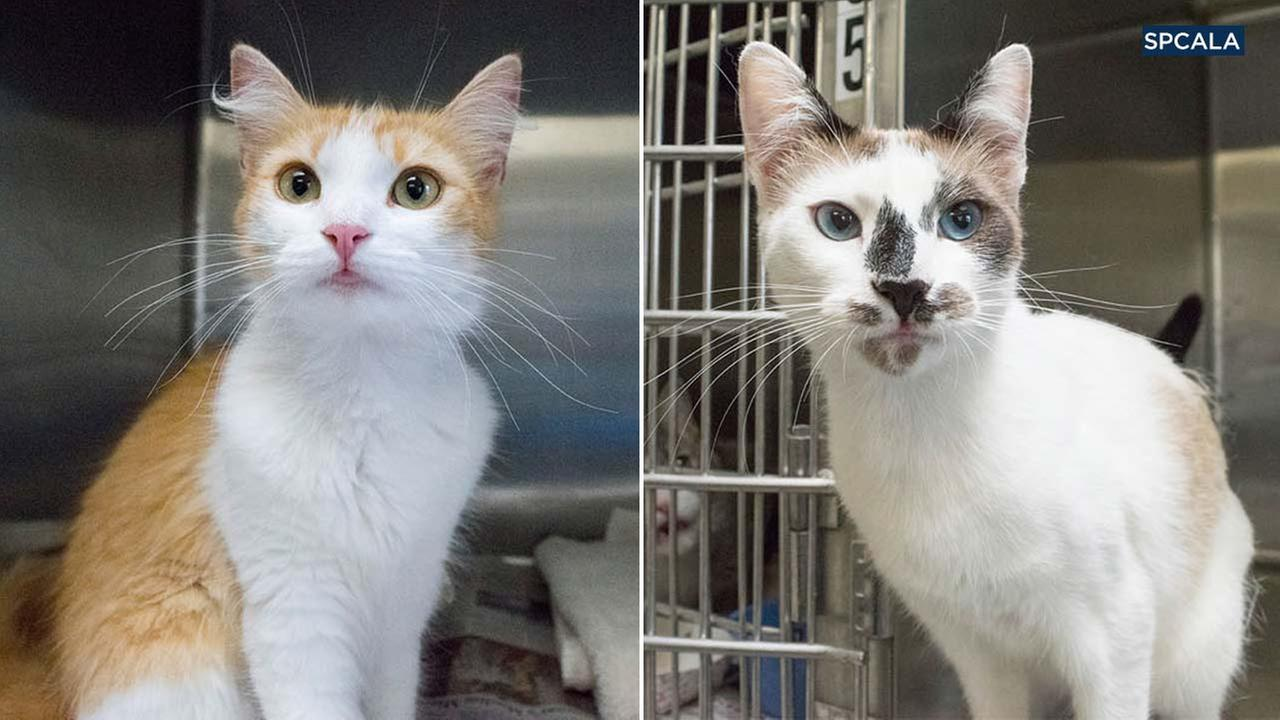 The spcaLA provided these photos of two cats that were found inside a garbage bag in Los Angeles on Thursday, June 28, 2018.