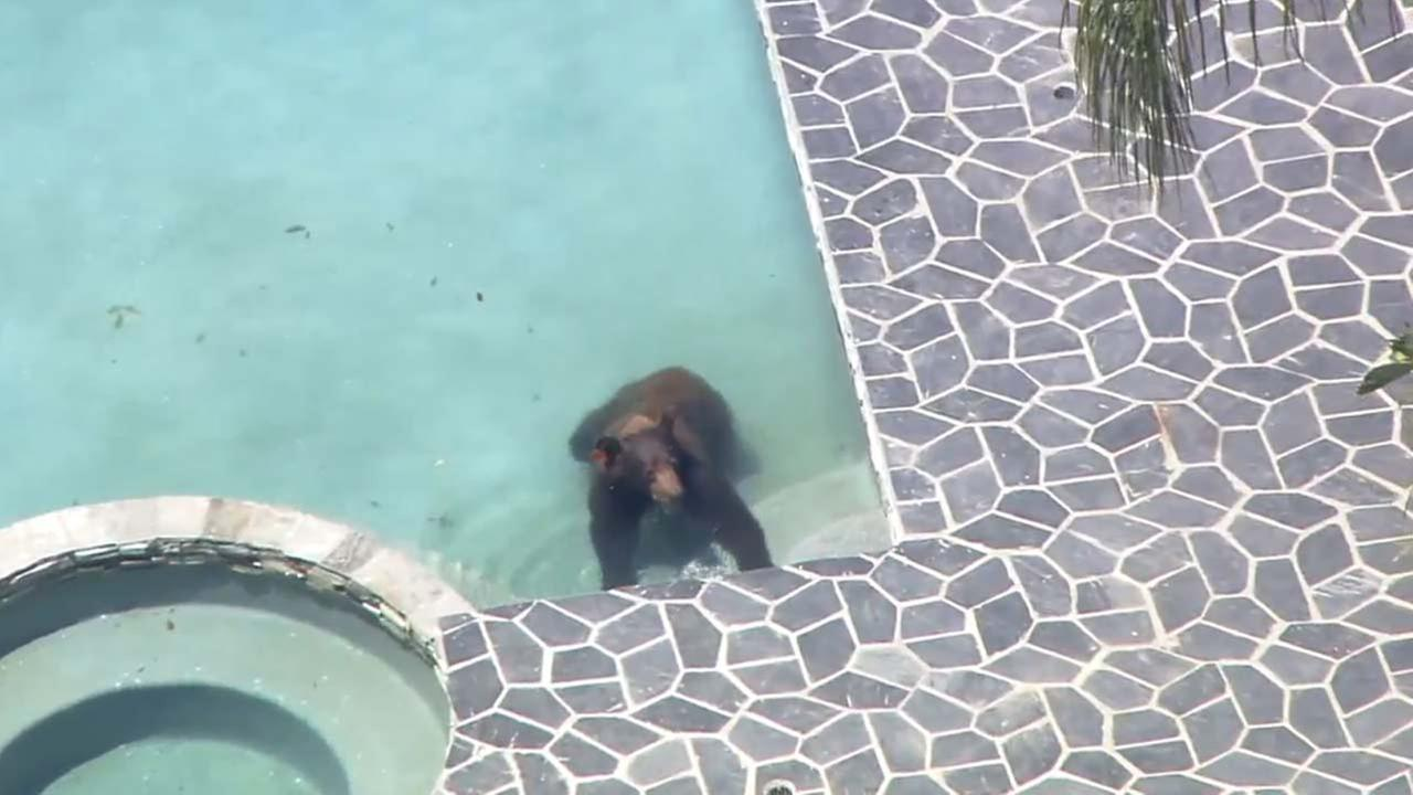 A bear was spotted going for a dip in a pool in Granada Hills on Tuesday, July 17, 2018.