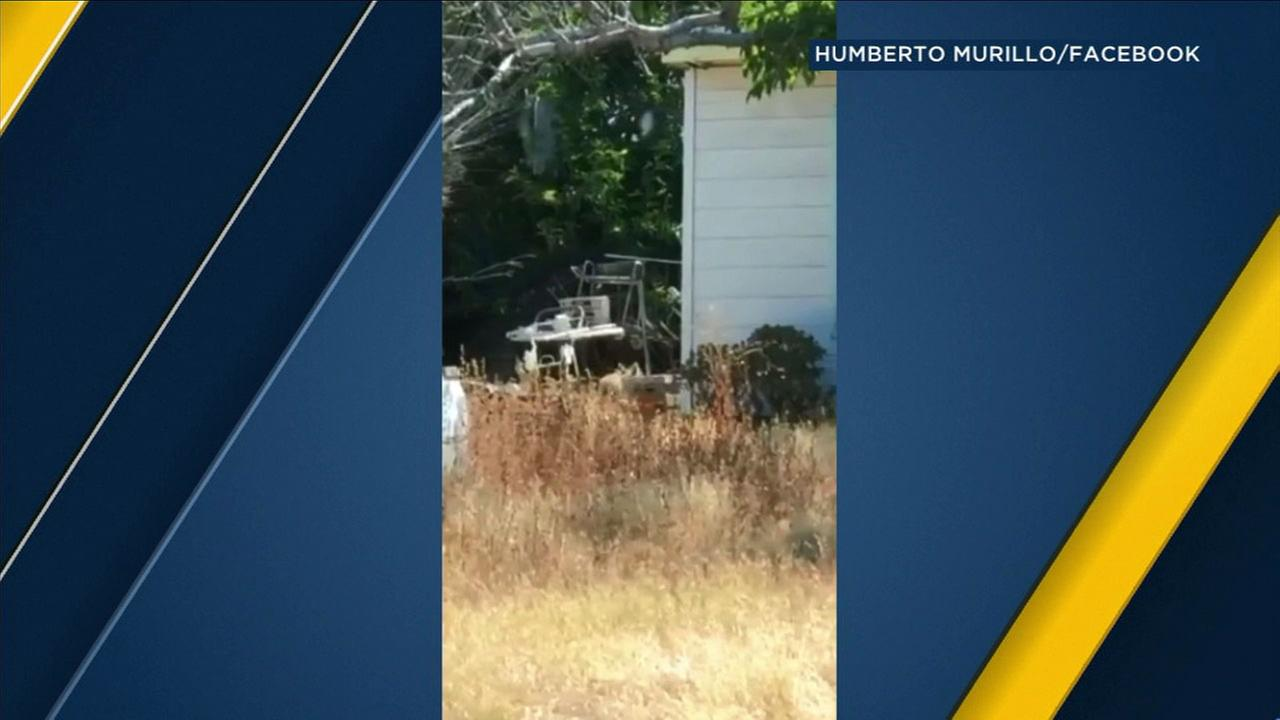 Video shows a coyote at an abandoned Sunland home where several have been spotted, according to concerned neighbors.