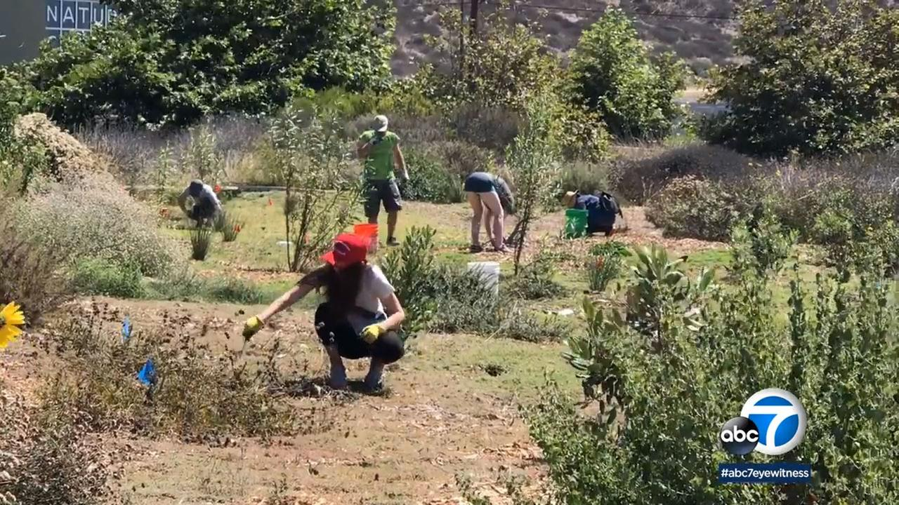 Volunteers worked on habitat restoration at the White Point Nature Preserve in San Pedro.