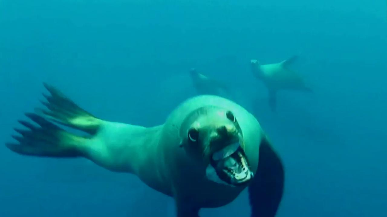 A sea lion rushes towards a divers camera off the coast of Santa Barbara.