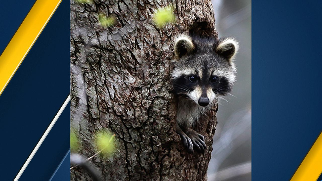 A raccoon peers out from a hole in a tree in a ravine in Moreland Hills, Ohio on Wednesday, April 29, 2009.