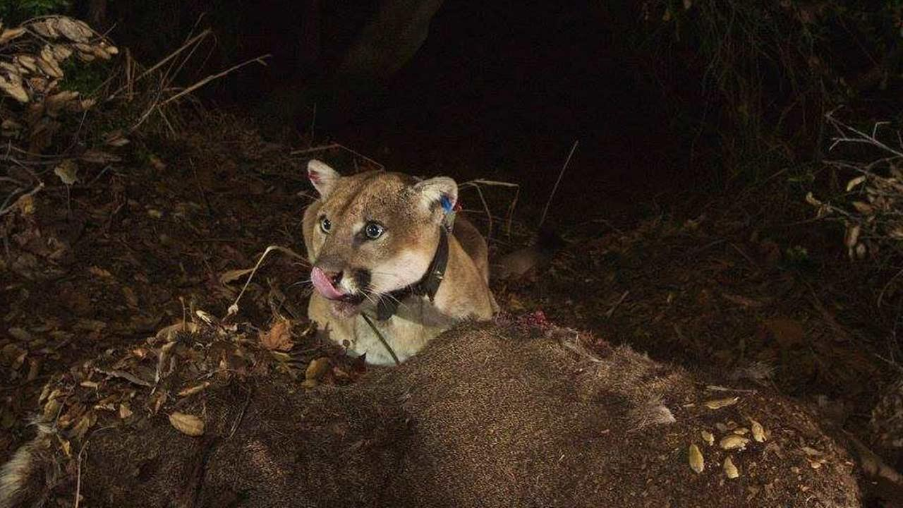A National Park Service biologist captured photos of the Griffith Park mountain lion with remotely triggered camera. The images show he is recovering well from a skin disorder.