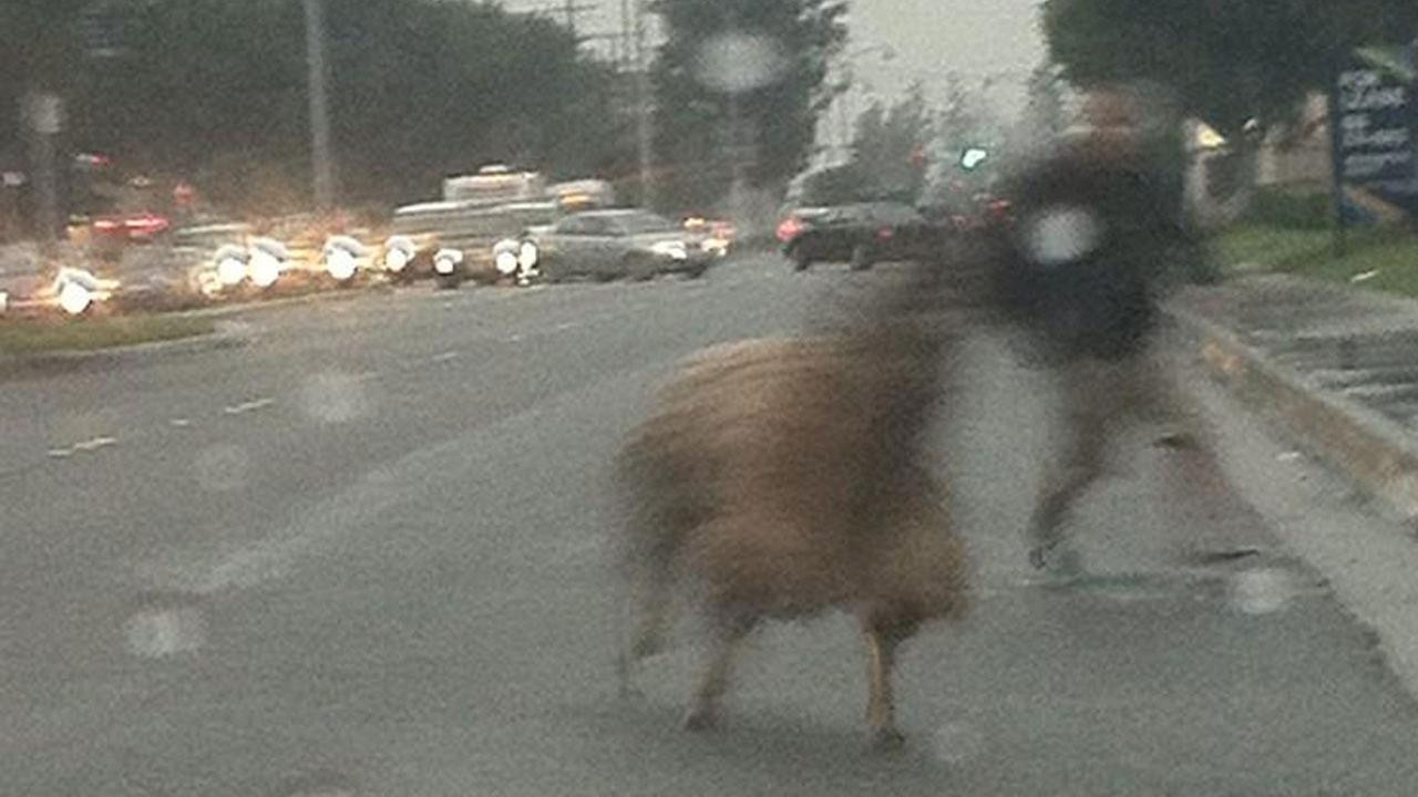 An alpaca named Sha Sha escaped from the Masjid Qurtabah Mosque in the 1100 block of Huntington Drive in Monrovia Saturday, Jan. 10, 2015.