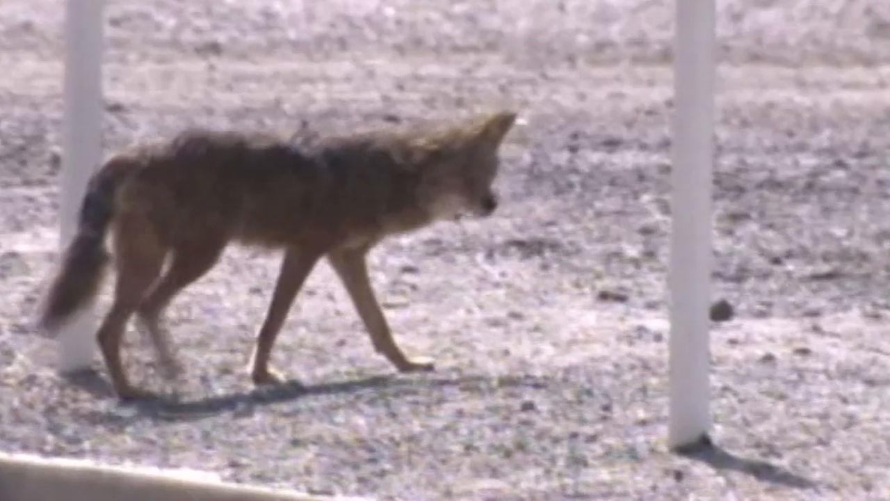 A Ladera Ranch woman says a coyote lunged at her and her infant. Nearby residents believe coyotes also killed two neighborhood dogs.