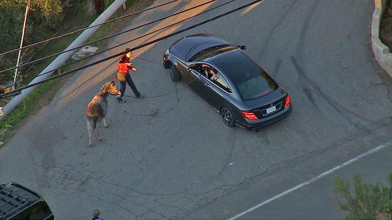 A donkey on the loose in Malibu is seen from AIR7 HD on Friday, Jan. 16, 2015.