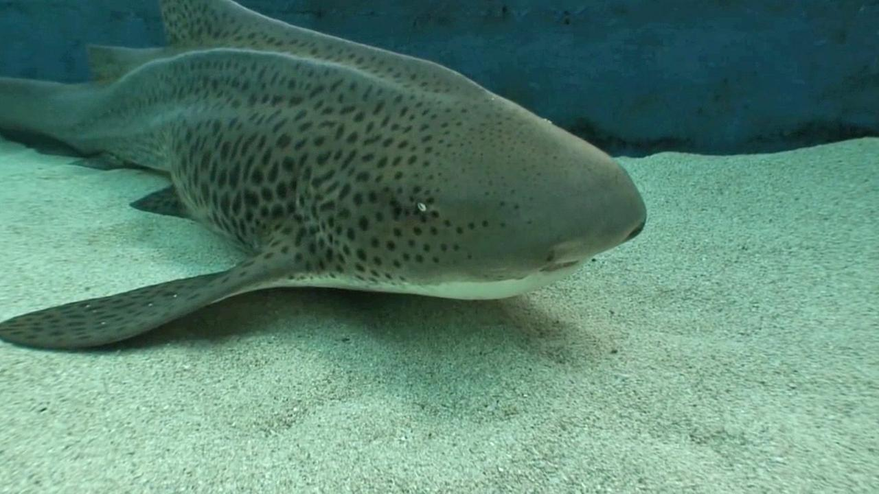A 10-month old zebra shark rests at the bottom of the Aquarium of the Pacifics shark lagoon exhibit on Tuesday, Jan. 27, 2015.