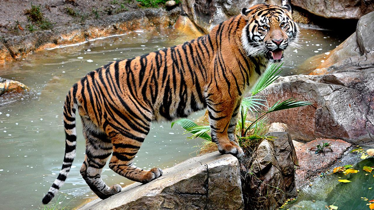 Castro, Jr., nicknamed C.J., is a rare Sumatran tiger who is set to debut at the Los Angeles Zoo on Friday, Feb. 6, 2015.