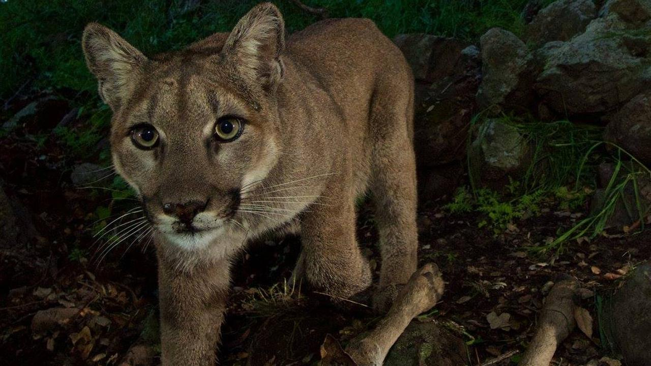 A mountain lion known as P-33 is seen in the Santa Monica Mountains.