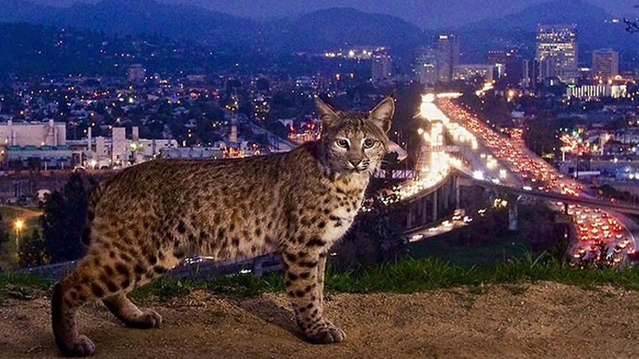 A bobcat is photographed in Griffith Park overlooking the 134 Freeway.