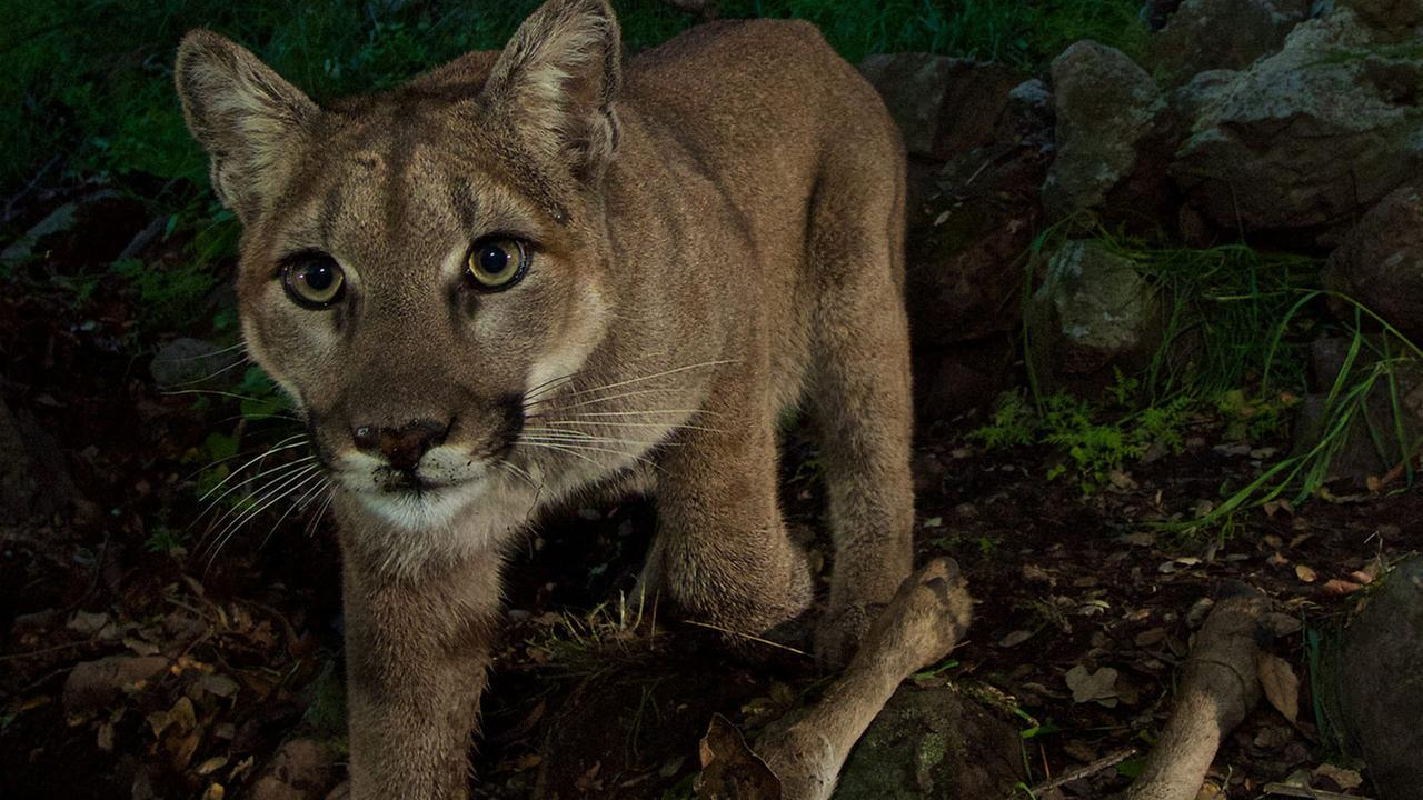 The female mountain lion, known as P-33, is shown in this undated file photo.
