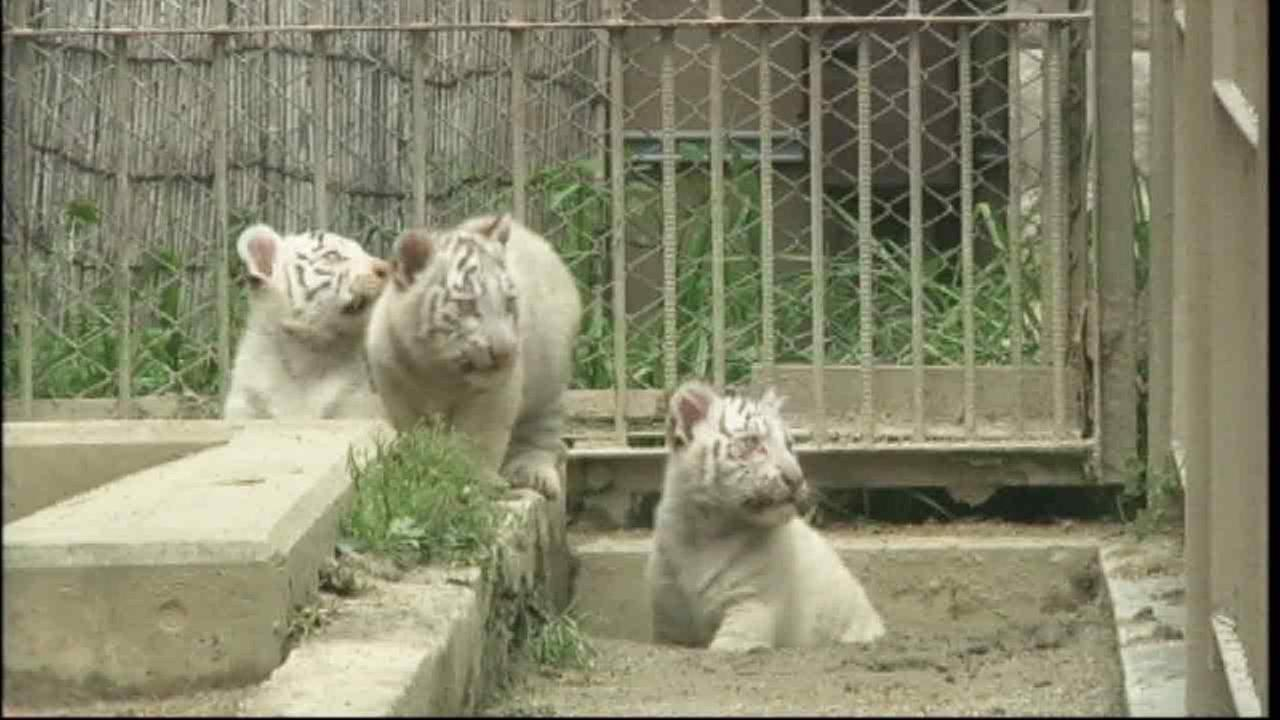 Newborn white tiger cubs look on together at the Saitama Tobu zoo, in Shiraoka, north of Tokyo,Thursday, April 16, 2015.