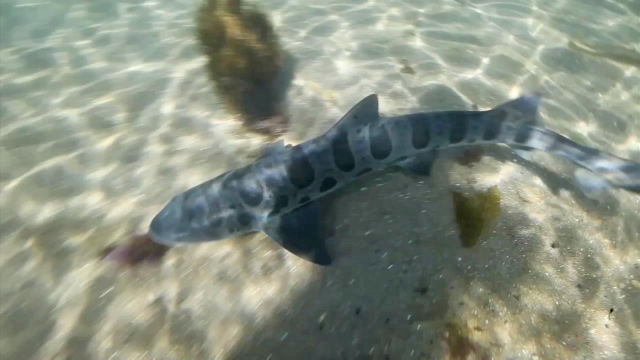 Poachers Targeting Baby Sharks Along Southern California