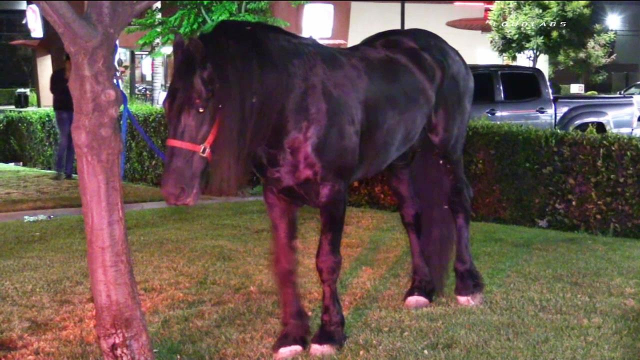 One of two horses that ran down the 91 Freeway in Pomona are shown tied to a tree after the animals were rounded up safely on Monday, May 4, 2015.