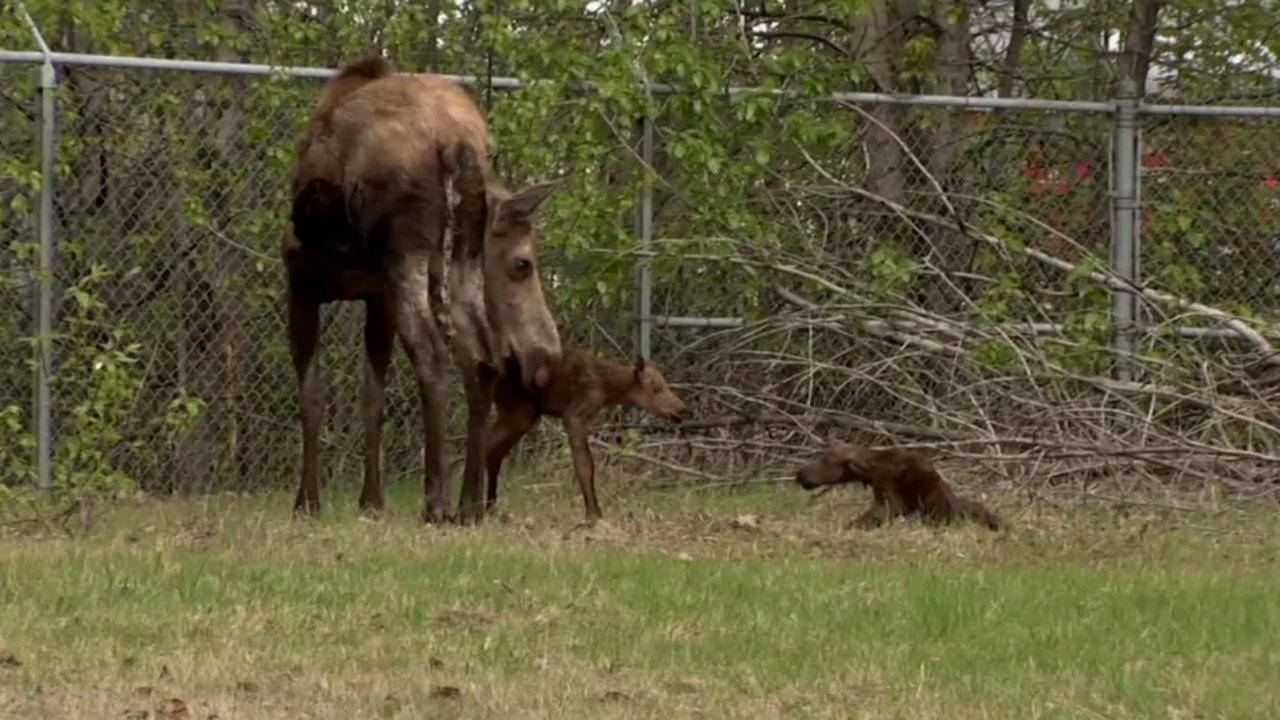 A mother moose and her two newborn calves were photographed on the side of a road in Anchorage, Alaska.