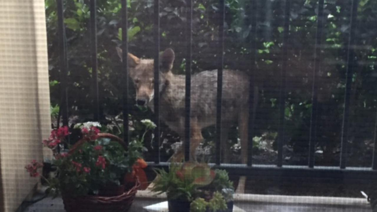 Eyewitness News viewer Ginna McKenna took this photo of a coyote from her apartment hours before its is believed to have attacked a 3-year-old girl Friday, May 22, 2015.