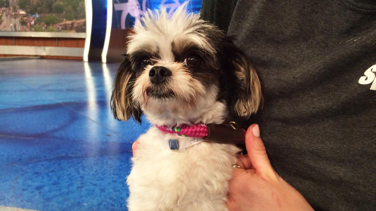 Pet Of The Week 2 Year Old Shih Tzu Mix Named Zippy Abc7com