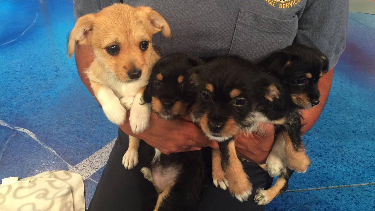 pet of the week 4 border terrier mix puppies