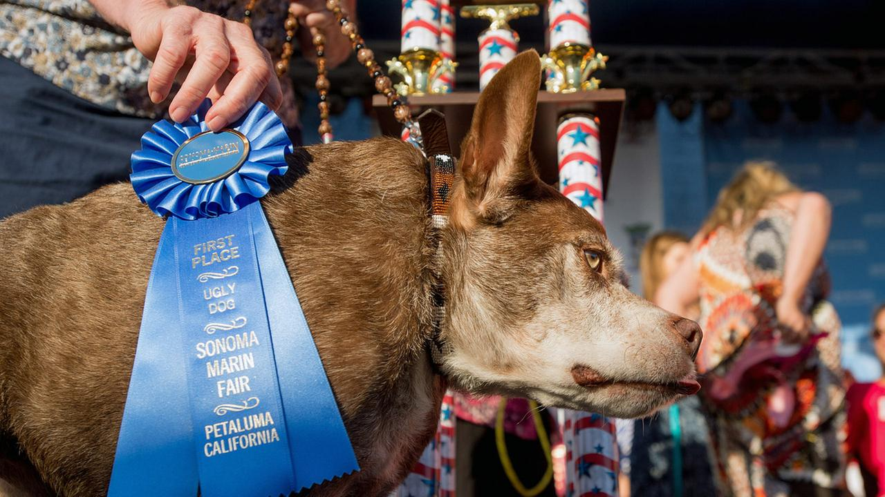 Quasi Modo wins top honors in the Worlds Ugliest Dog Contest at the Sonoma-Marin Fair on Friday, June 26, 2015, in Petaluma, Calif.