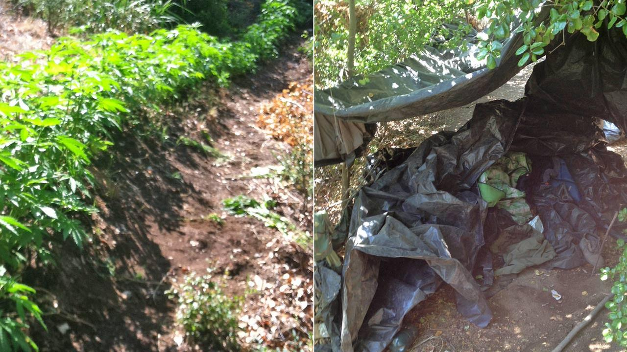 Left: Marijuana plants seized from Piru Canyon on Friday, May 23, 2014. Right: A campsite discovered by sheriffs investigators near the pot grow.