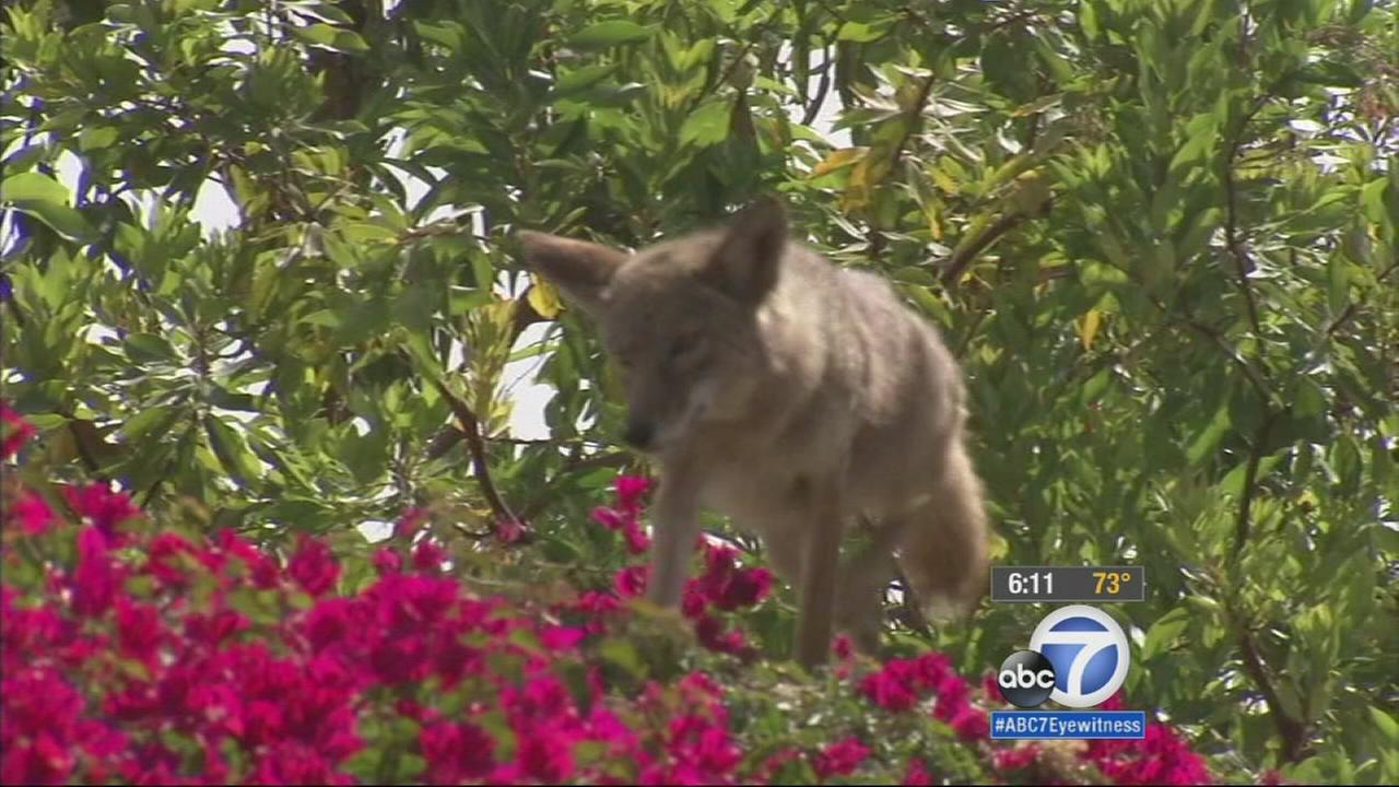 A warning has been issued to residents in an Irvine neighborhood where there has been a growing number of coyote attacks on children.