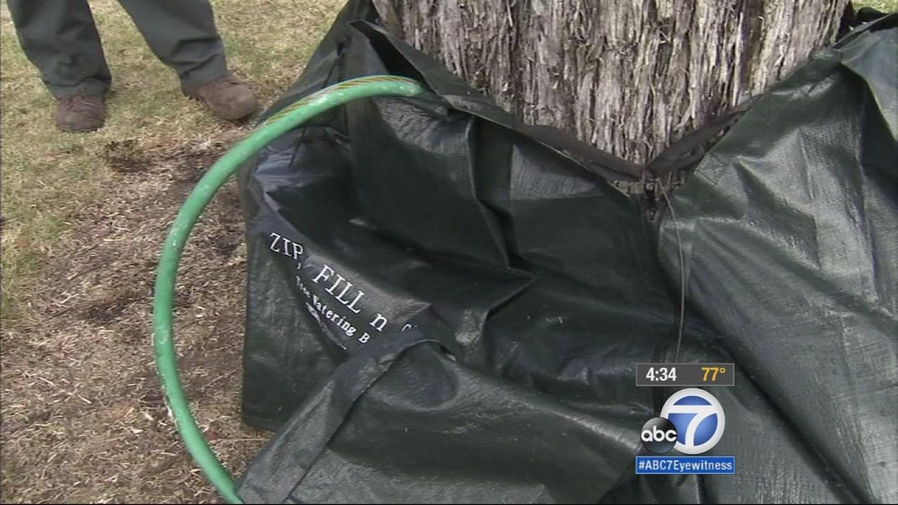 In an effort to conserve water during the drought, the city of San Clemente is using watering bags to care for their trees along street medians.