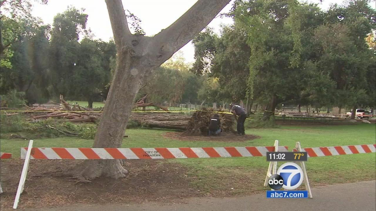 The city of Pasadena has hired an independent arborist to investigate why a towering, seemingly healthy tree fell on a crowd of children, injuring eight.