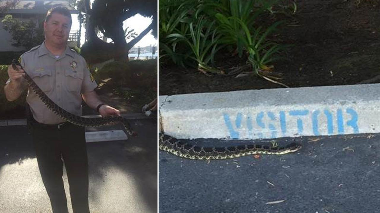 A rattlesnake is shown in the parking lot of the Los Angeles County Sheriffs Department Marina del Rey Station on Friday, July 31, 2015.