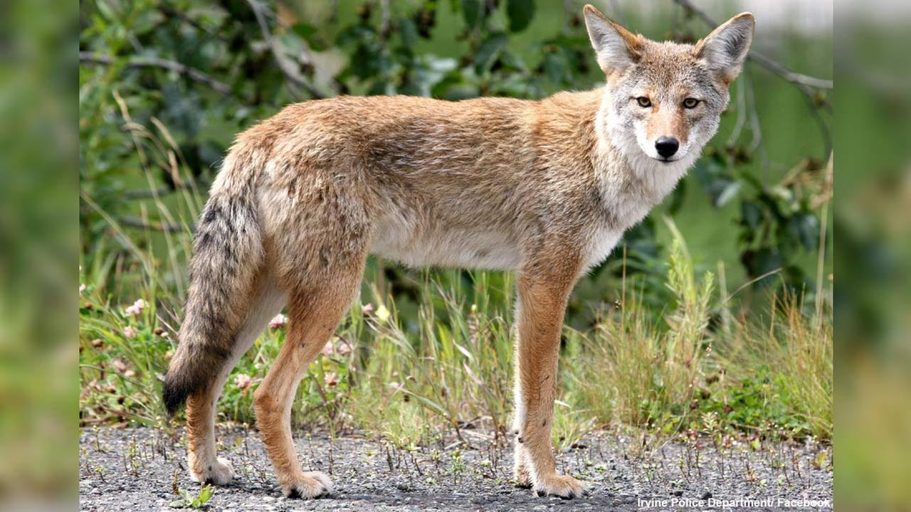 A coyote is seen in this undated file image from the Irvine Police Department.