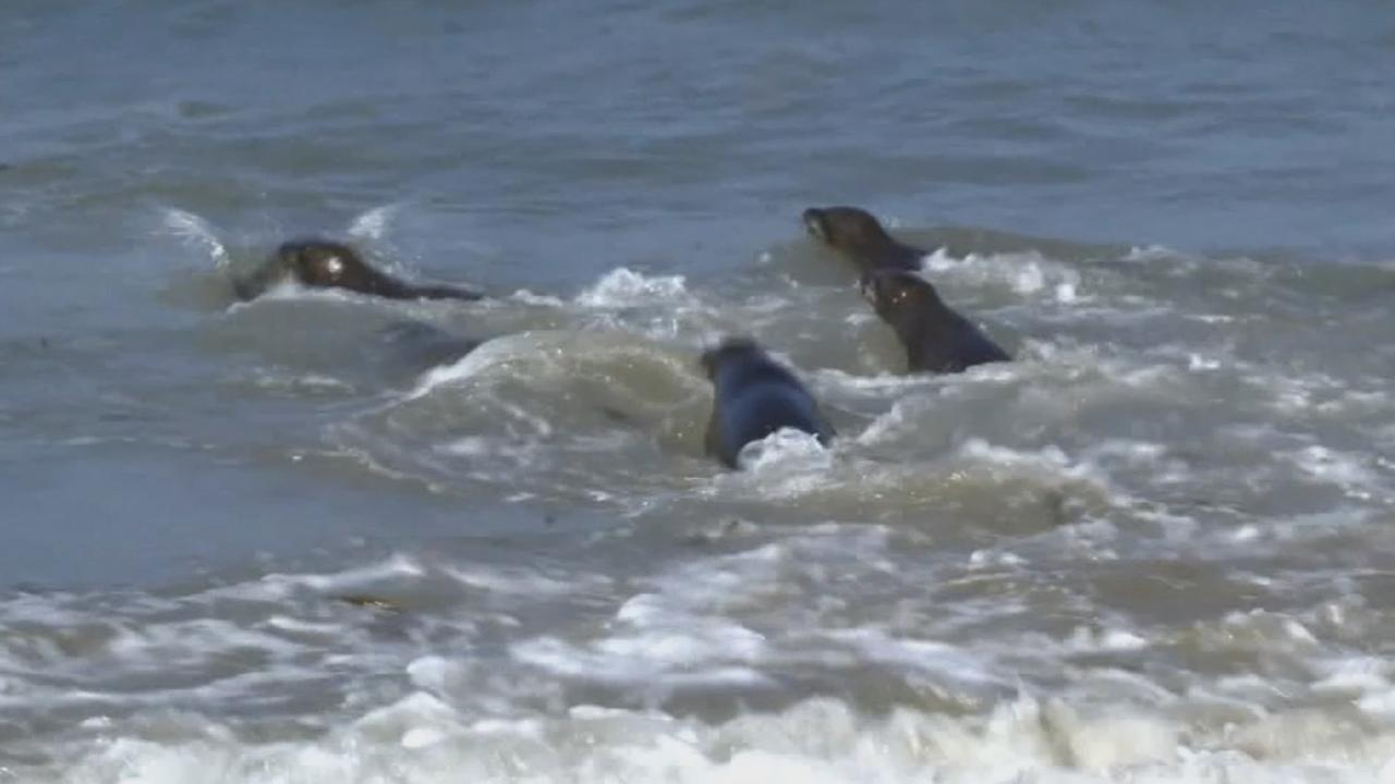 Three sea lions affected by the Refugio oil spills were returned to the Pacific Ocean on Friday, Sept. 18, 2015.