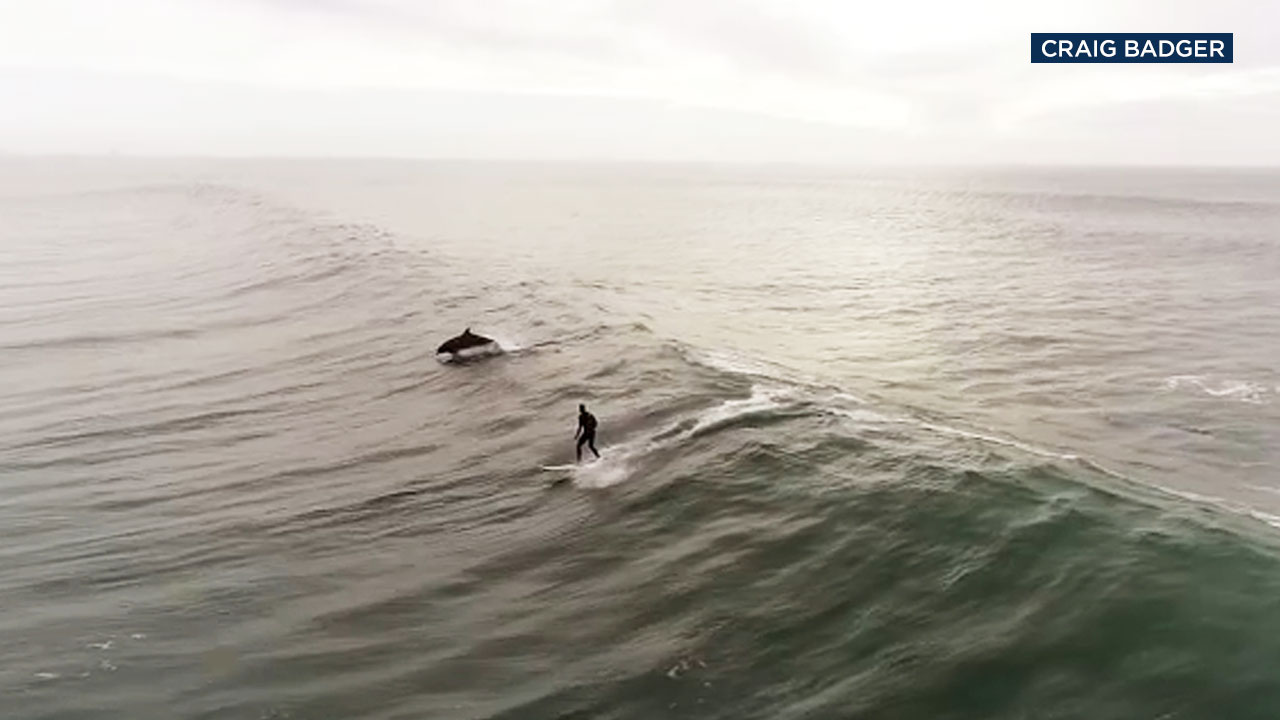 Amazing drone video shot off the coast near Ventura shows a pod of playful dolphins swimming alongside a surfer.