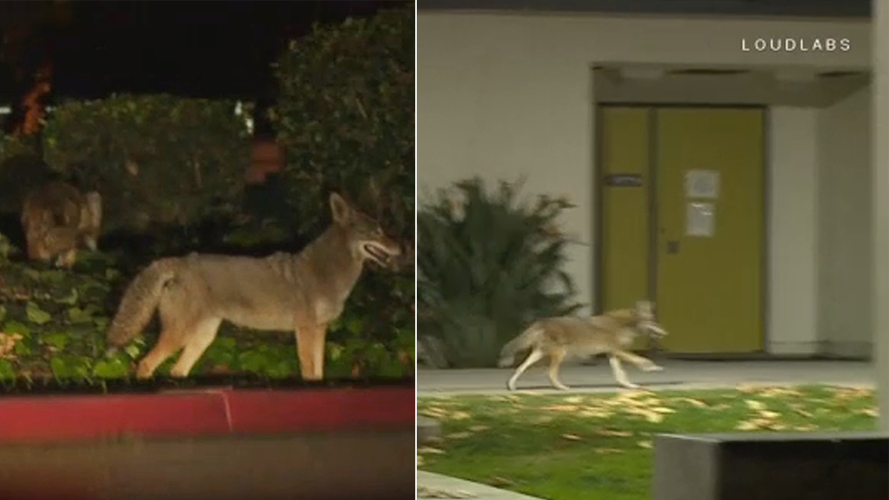 Coyotes were spotted roaming around an El Monte school on Monday, Jan. 28, 2019.