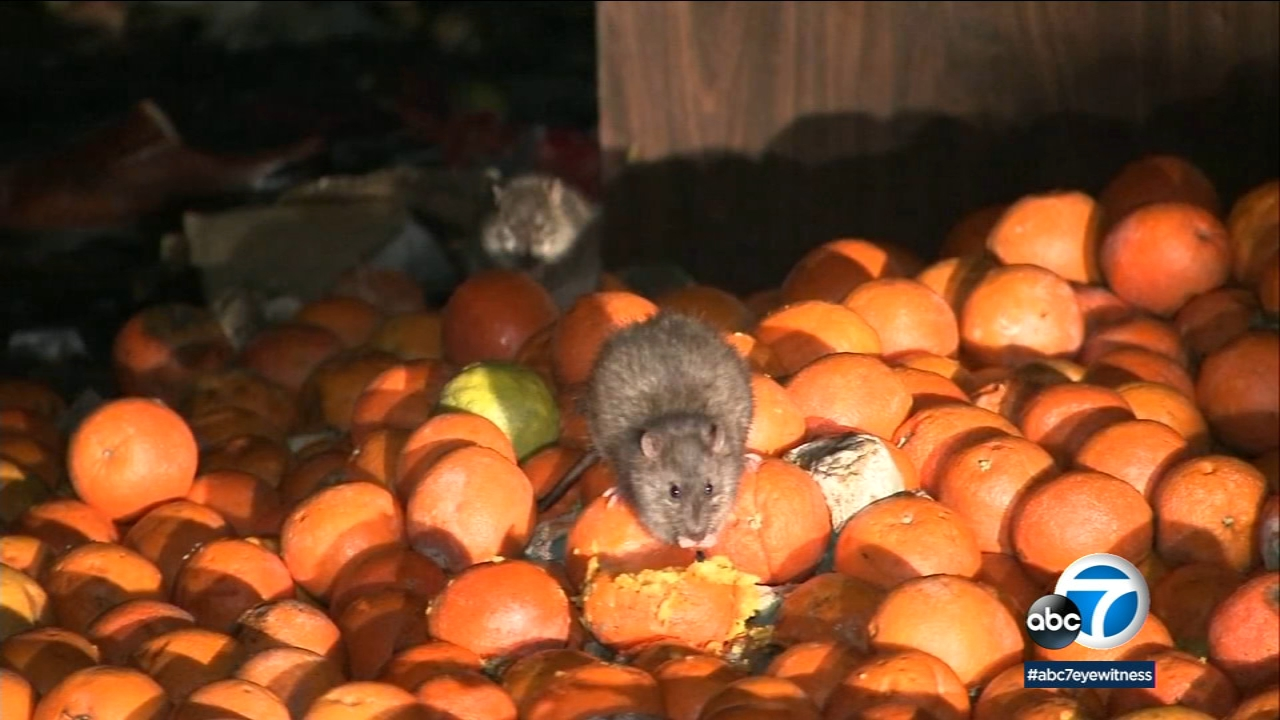 City Hall to tackle rat infestation amid typhus outbreak