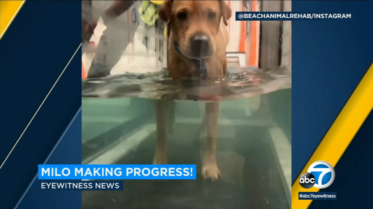 Milo, the dog who fell or was pushed off a roof in Hollywood, is making progress in recovery after doctors thought hed never walk again.