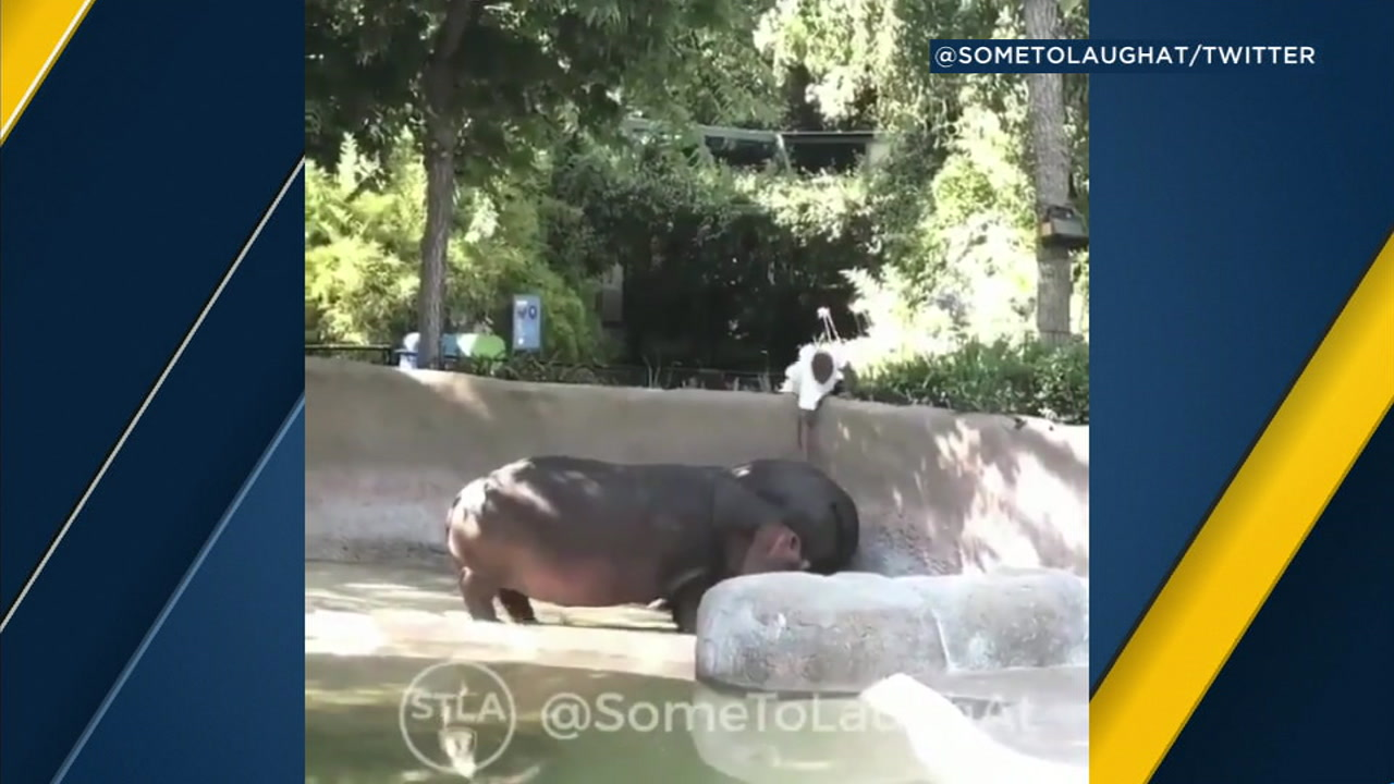 A video appearing on social media shows a man reaching down to slap a hippos butt at the L.A. Zoo.