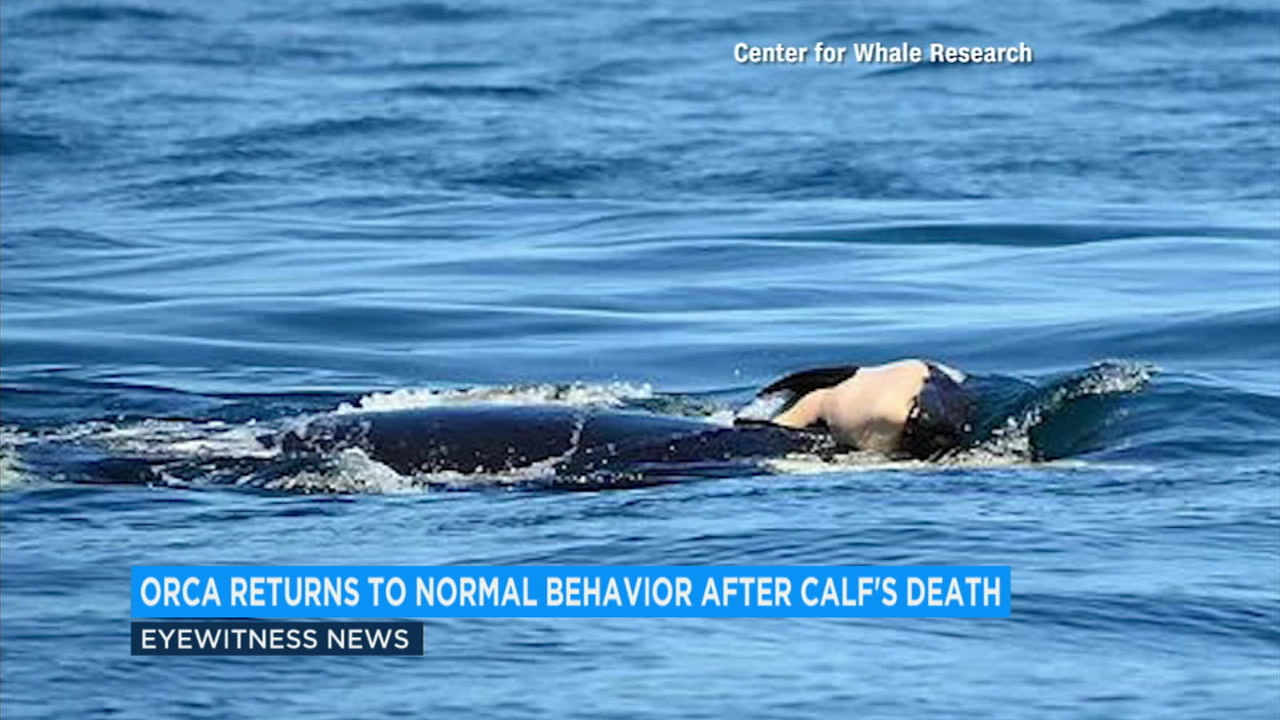 Orca back to feeding, frolicking after carrying dead calf off Washington