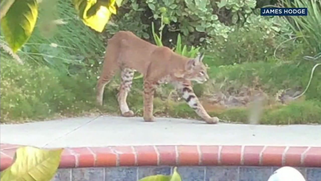 A bobcat is shown in the backyard of Sue and Jim Hodge in La Canada Flintridge.